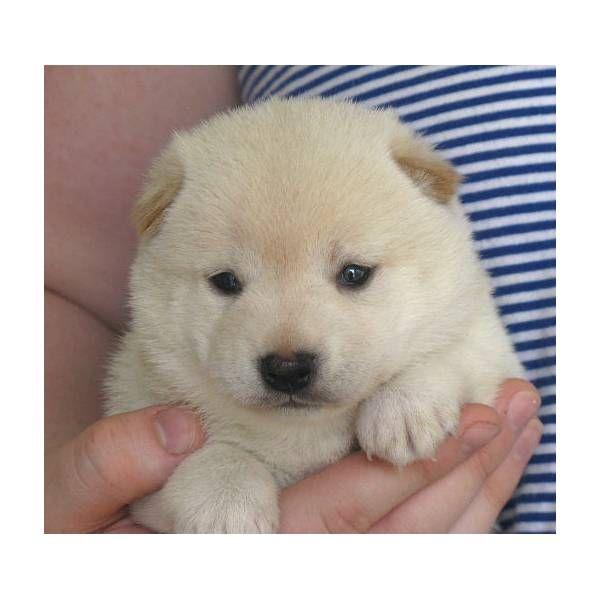 Aww ... what a precious shibu puppy!