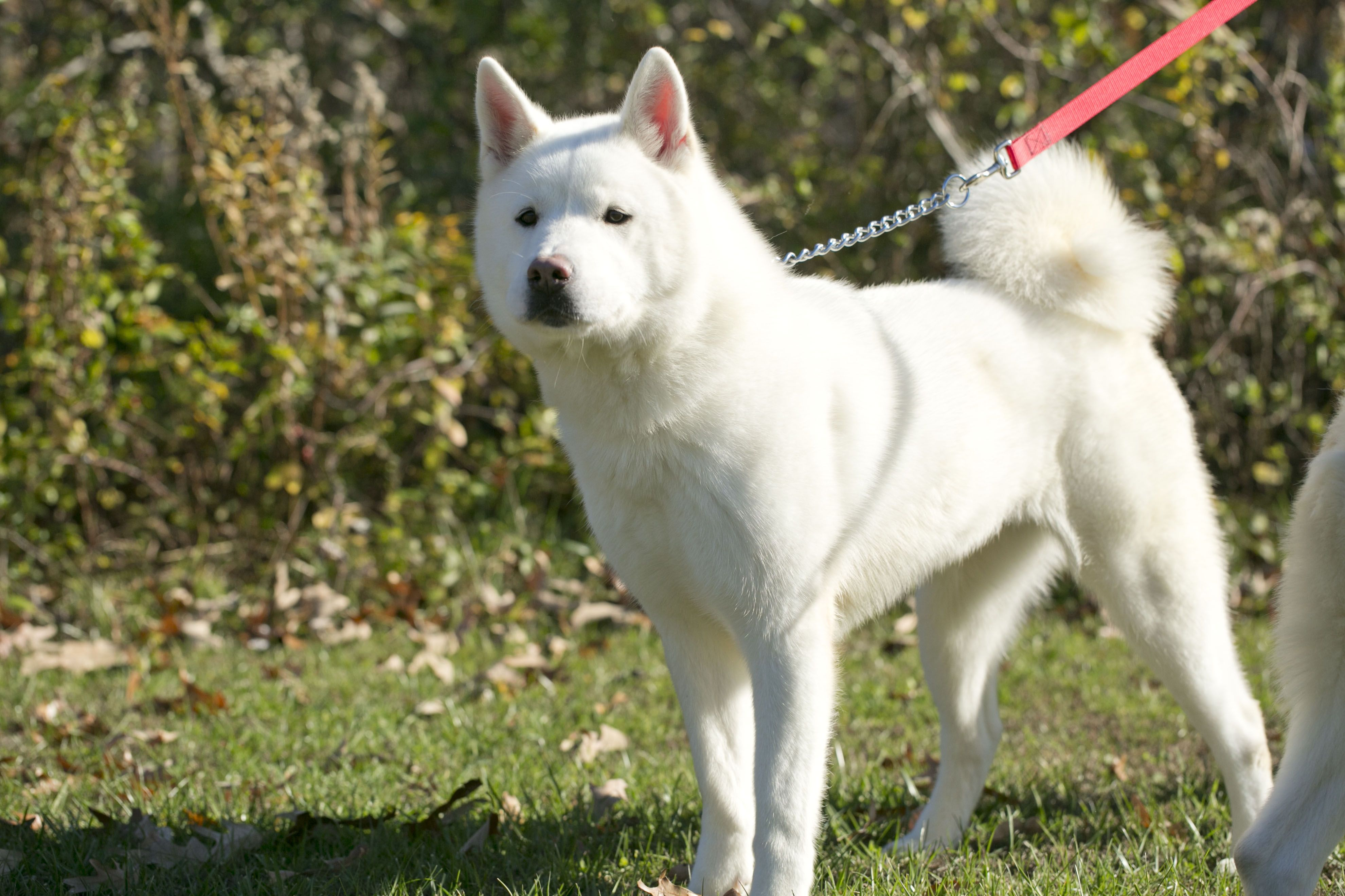 1 Year Old Solid White Gorgeus Female Akita Who Is Bonded With Her
