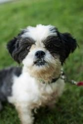Adopt Stitch On For The Home Poodle Mix Dogs Shih Tzu Poodle