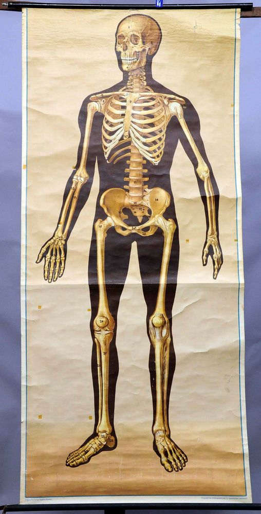rollable anatomical wall chart poster human skeleton lifesize