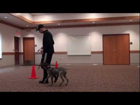Mickey German Shorthair Pointer Puppy Camp Dog Training In