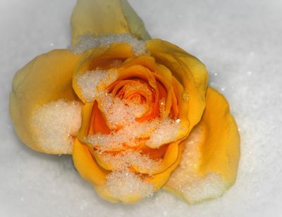 One yellow Rose in the snow, the story unknown
