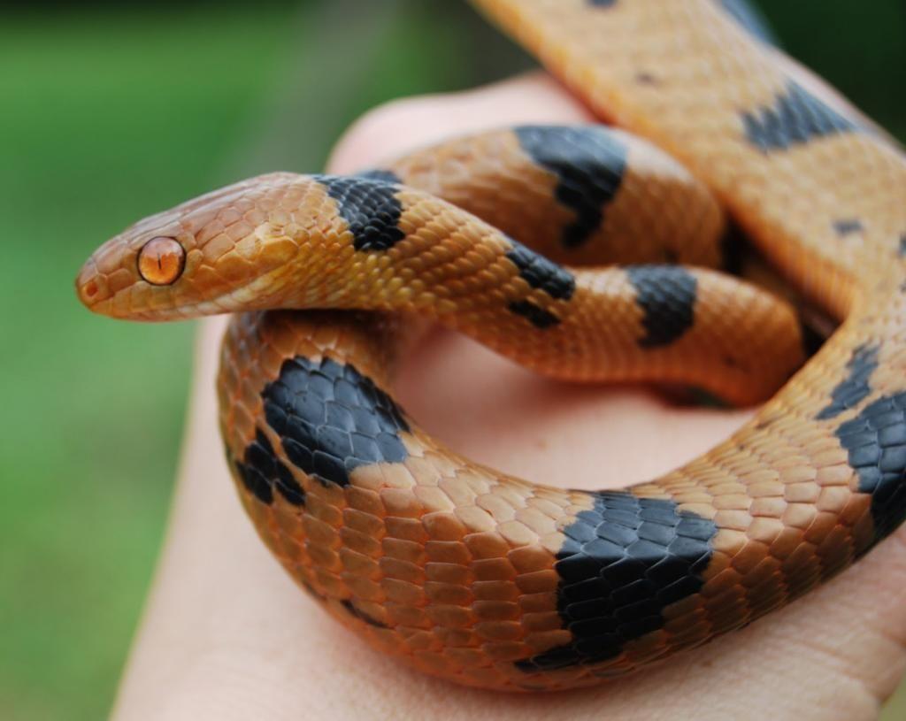 Tiger Snake do snakes die after drinking milk