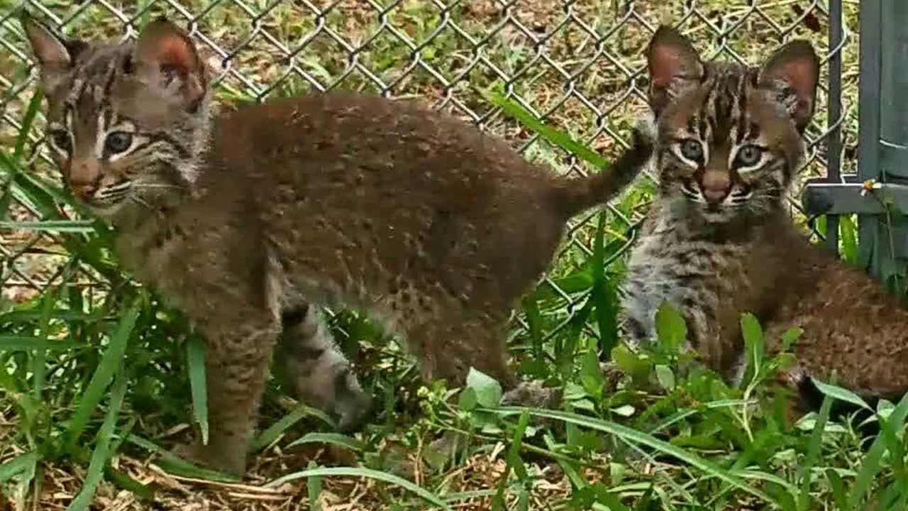 Baby Bobcats First Introduction Big Cat Rescue Https Youtu Be T05vza2gucg Via Youtube Baby Bobcat Big Cat Rescue Bobcat Kitten