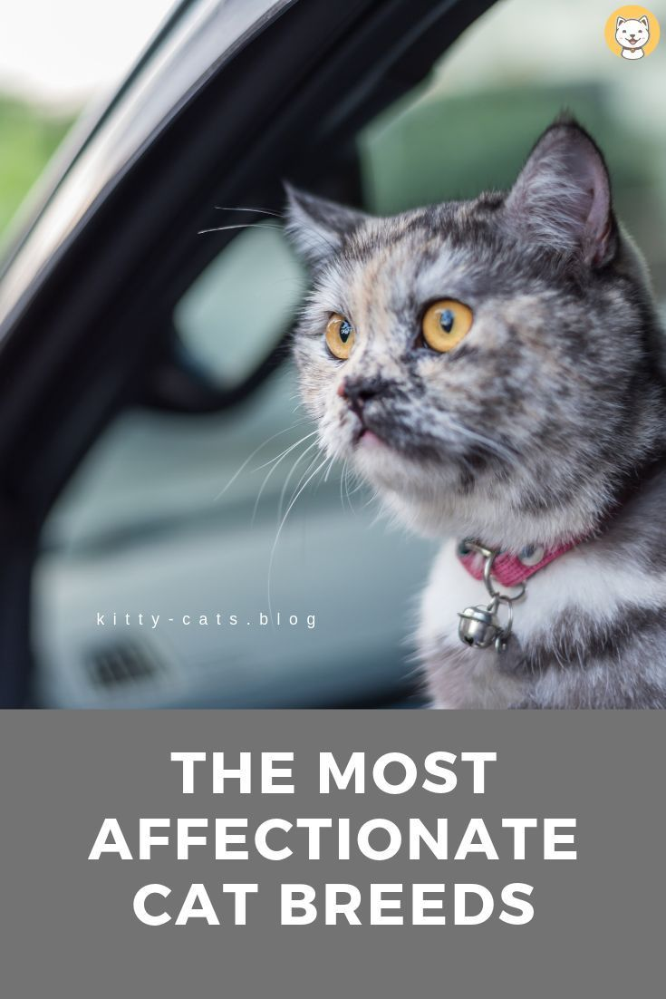 The Most Affectionate Cat Breeds #catbreeds