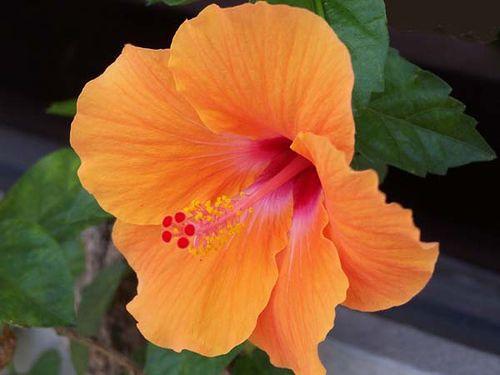 Hibiscus Orange Flowers Plante Hibiscus Hibiscus Jardins