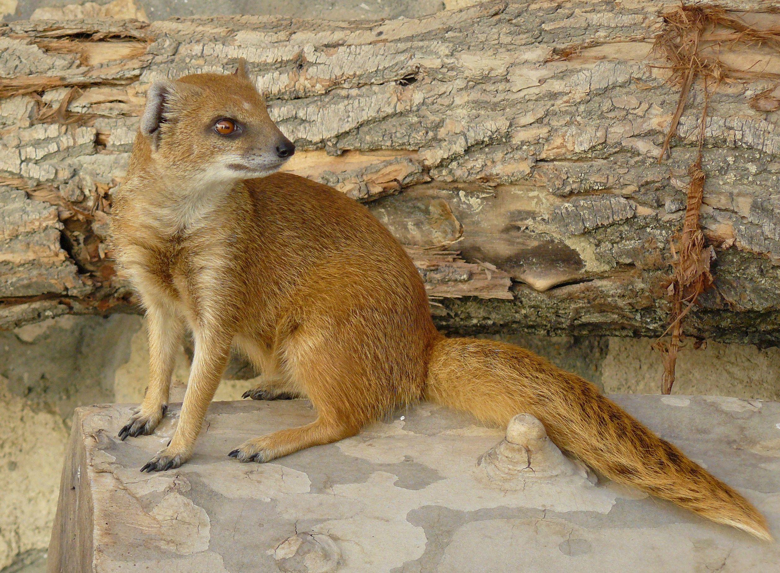 Yellow Mongoose Google Search Cute Animal Clipart Cute Animals Cute Animal Photos