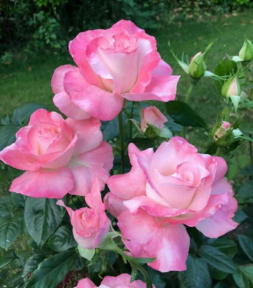 Pin By Teresa M On My Rose Garden Pinterest Flowers Rose And