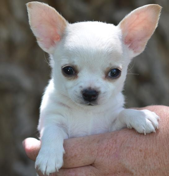 Basil Chihuahua Puppy Chihuahua Puppies Chihuahua Puppies