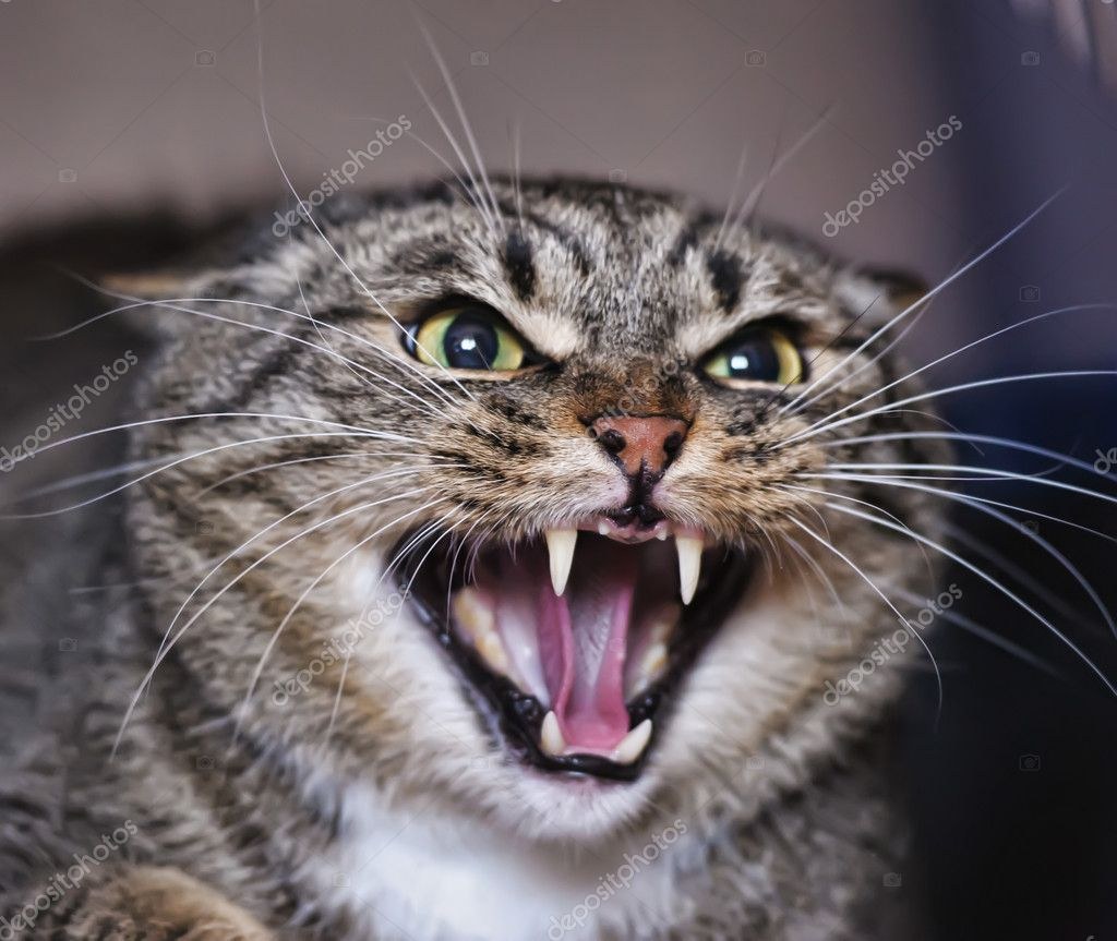 Angry Cat Hissing Aggressive Stock Photo Ad Hissing Cat Angry Photo Ad Angry Cat Cats Cat Reference