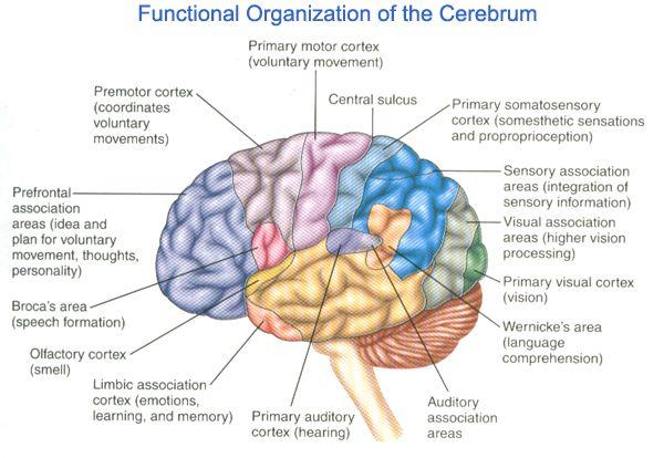 Broca\'s Area | broca area 300x207 larea del cervello in cui vengono ...