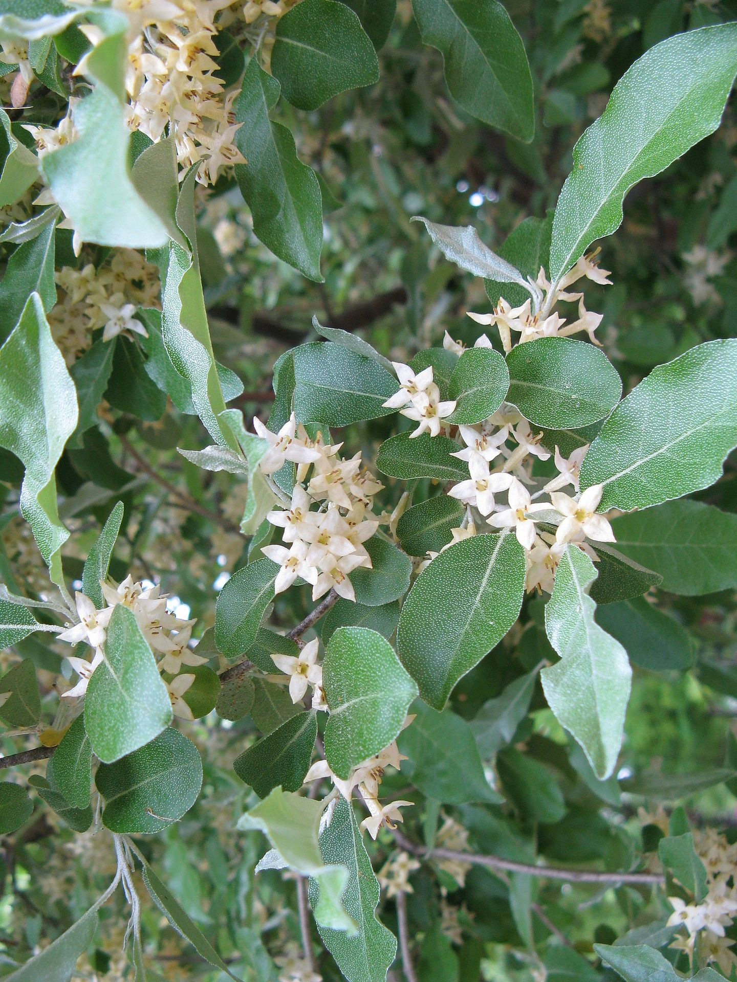 Elaeagnus umbellata: Autumn Olive. This is a large shrub ...