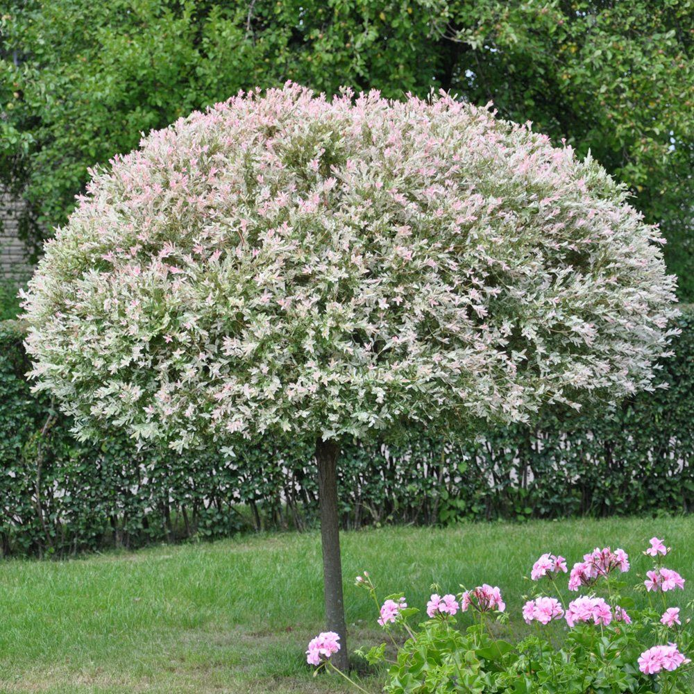 Trees home ornamental trees willow trees salix for Flowering dwarf trees for landscaping