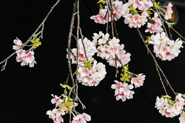 Sakura at Sake-no-Hana by Style Slicker, via Flickr