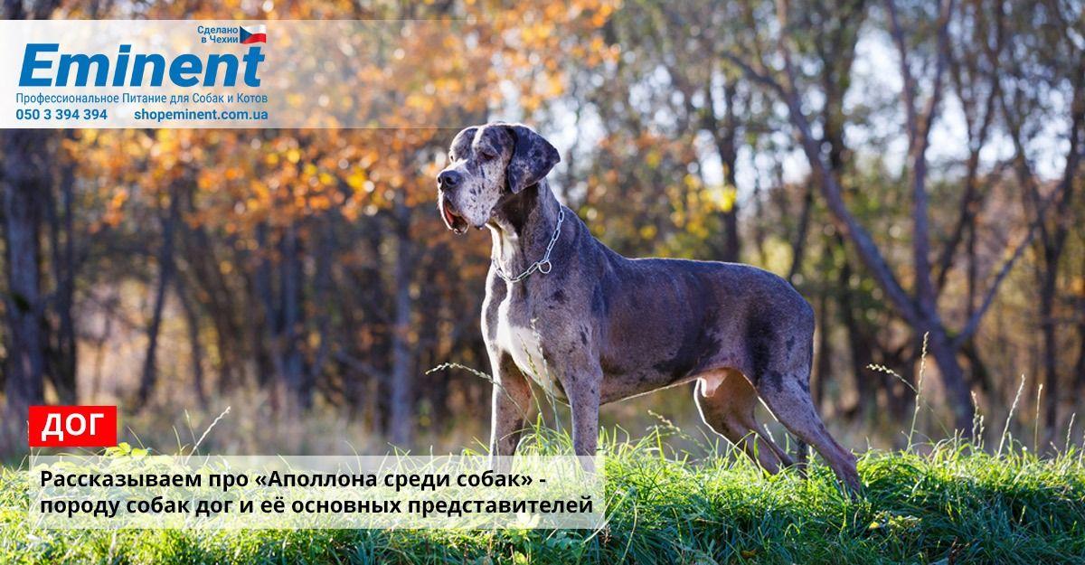 Apollon Sredi Sobak Sobaki Nemeckij Dog I Porody Sobak