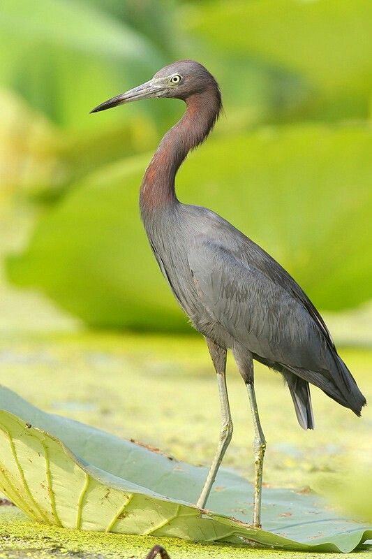Little Blue Heron - Texas. http://www.pbase.com/dadas115/00texas_birds_2&page=all