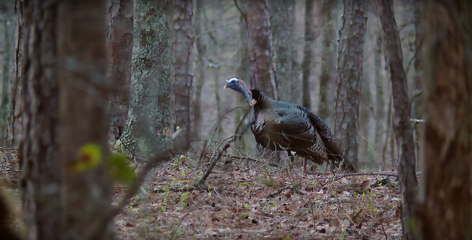 Turkey Hunting Turkey hunting, Hunting calls, Quail hunting