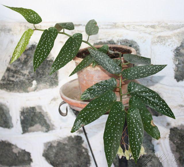 Begonia albopicta begonia especie originaria de brasil plantas plantas jardines y cultivar Cultivar lavanda en casa