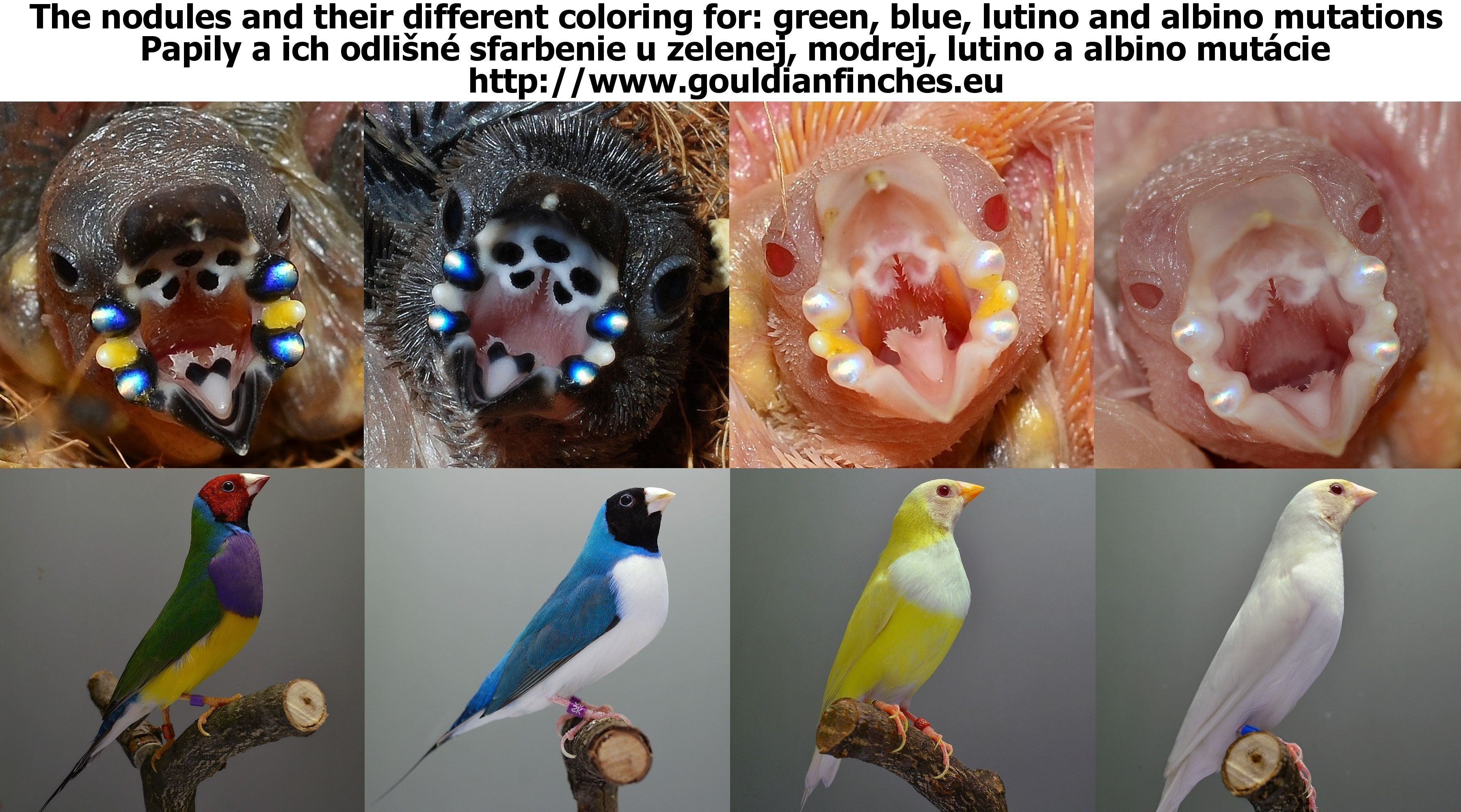 Gouldian Finch Gouldian Genetic Forecaster Finch Finches Bird