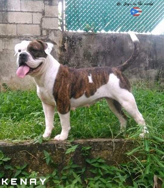 Kenay From Puerto Rico Old English Bulldog English Bulldog