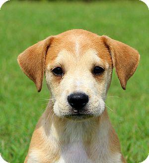Glastonbury, CT Boxer/American Bulldog Mix. Meet Mack
