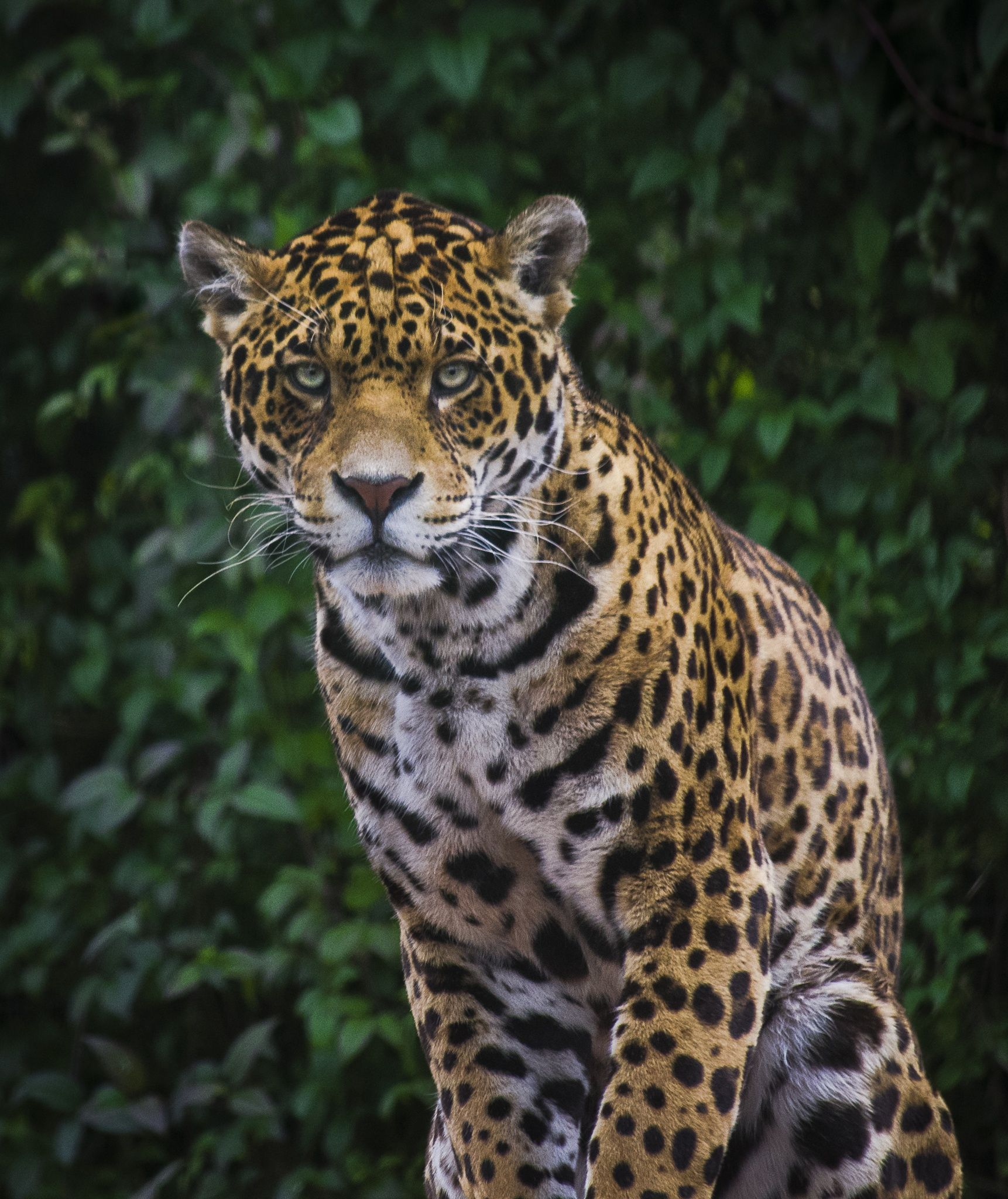 Jaguar ~ Count My Spots! ... Giggle