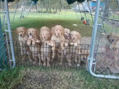 Golden Retriever Puppy For Sale In Ocala Fl Adn 48548 On