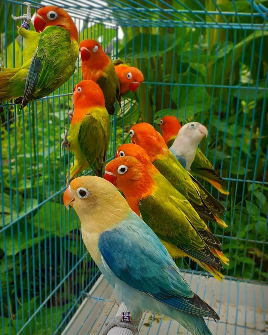Cara Membedakan Lovebird Jantan Dan Betina Akurat Burung Lovebird Di 2020 Betina Burung