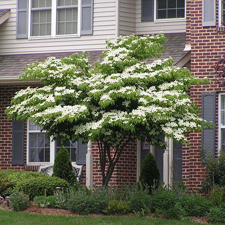 White Kousa Dogwood Dogwood Trees Kousa Dogwood Tree Flowering
