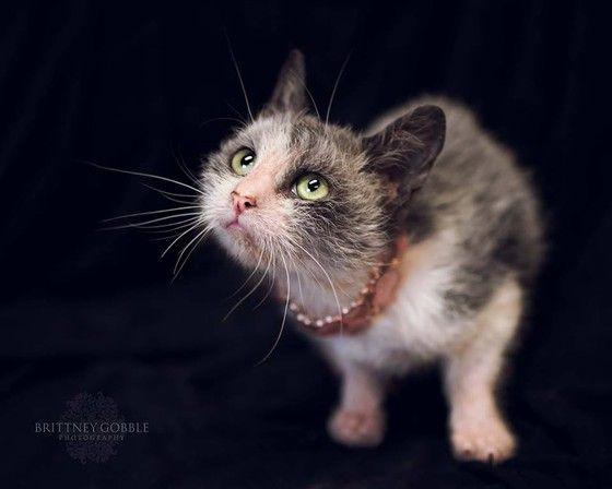 Uitgelezene Lykoi kitten te koop, weerwolf katten, wolf katten, natuurlijke ZQ-13