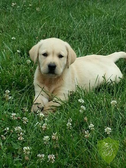 Arizona Labrador Retriever Puppies Labrador Retriever Puppies Labrador Retriever Labrador