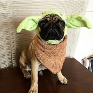 this pug doesnt even like star wars - Pugs Halloween