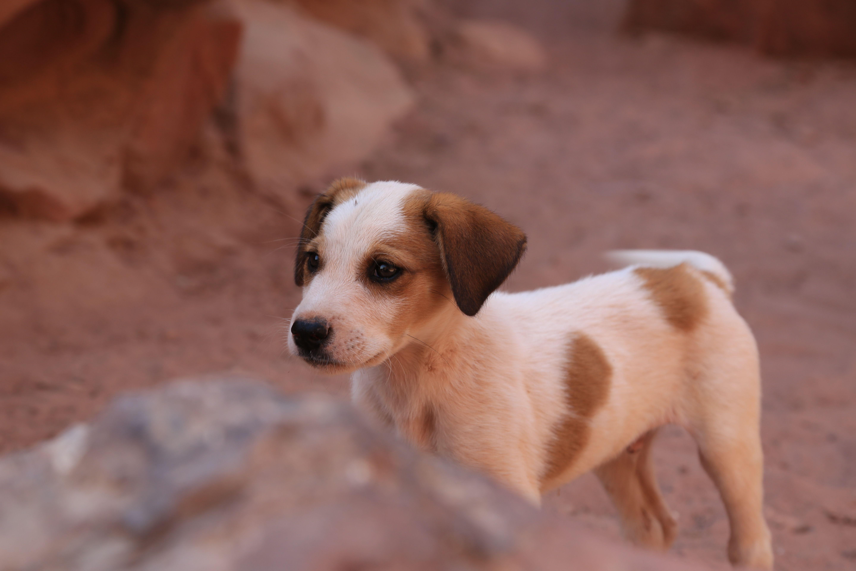Dog Petfinder Rottweiler Pitbull Cockapoo Yorkie Malta