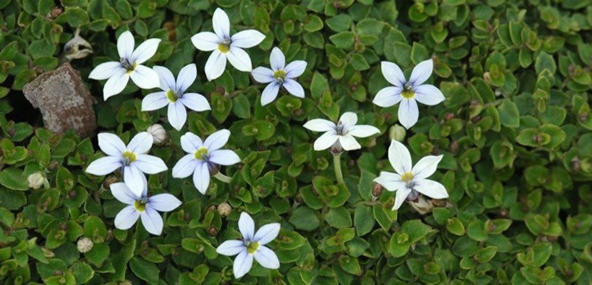 Blue Star Creeper 1000 Creepers Plants Plants White Flower Farm