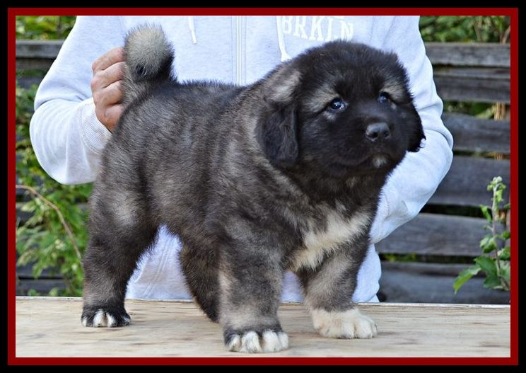 Caucasian Mountain Dog Puppy Male For Sale Caucasian Mountain