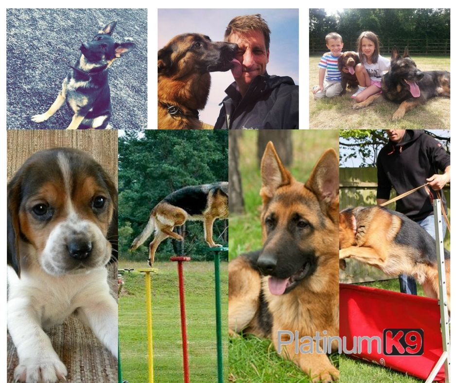 K9 Trained Dogs For Sale Puppies For Sale Trained Puppies For
