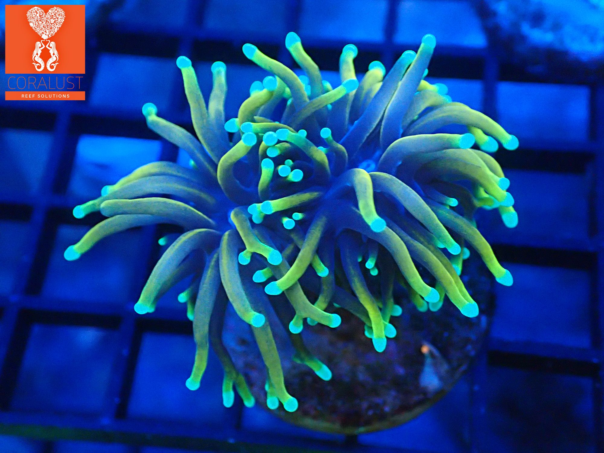 Ultra Rainbow Gold Gold And Holy Grail Torch Frags Available Coralust Com Torch Coral Frags Green Beans
