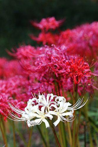 Spider Lilies | Lycoris radiata (曼珠沙華)