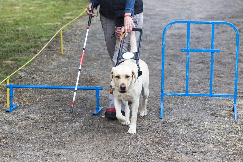 13 Fun Facts About Seeing Eye Dogs Guide Dog Dogs Dog Potty