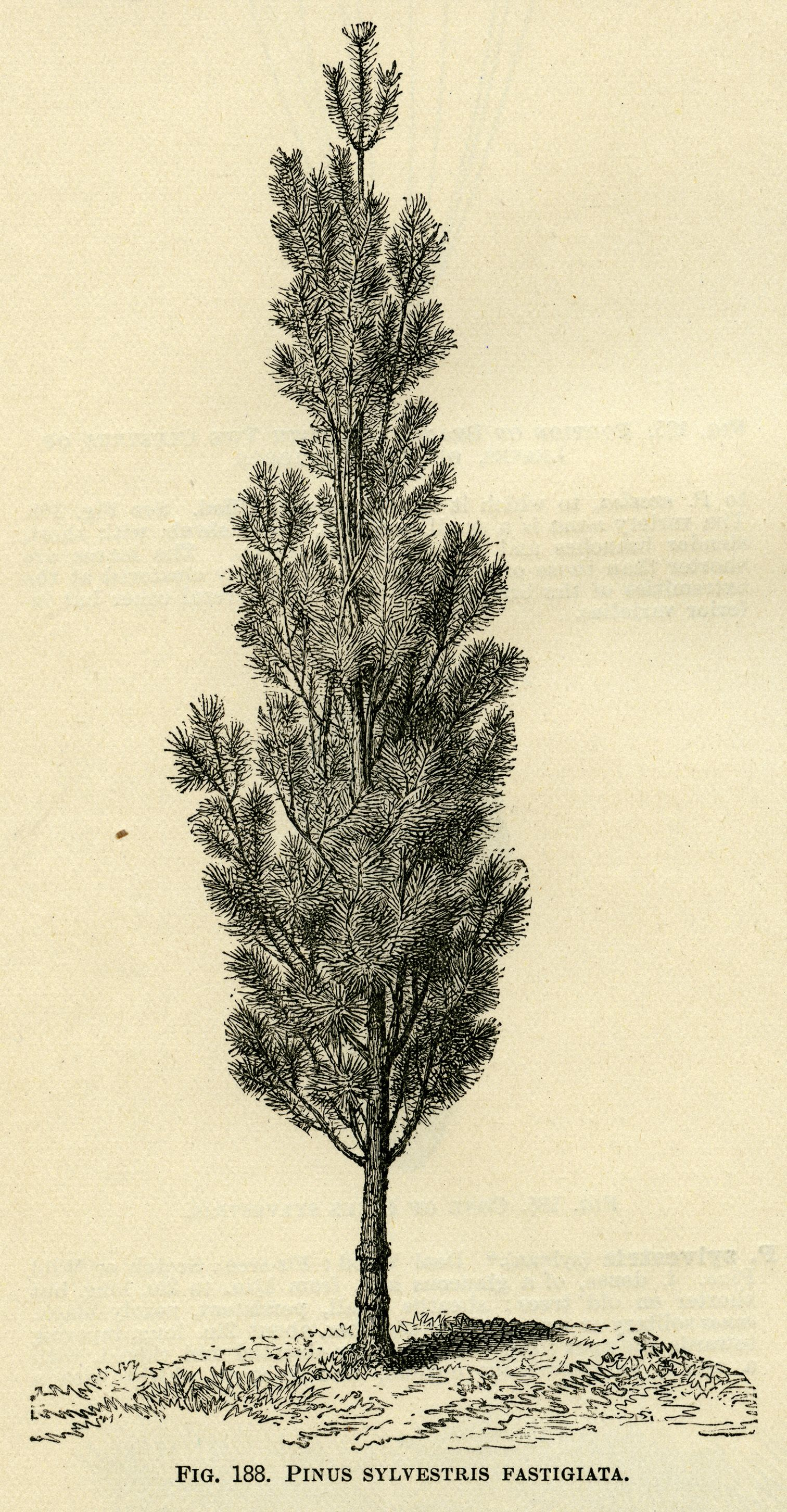 Black and white graphics botanical pine tree illustration black and white graphics botanical pine tree illustration vintage tree clip art pinus altavistaventures Image collections
