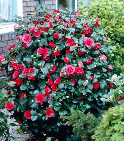 Kramer S Supreme Camelia Camellia Plant Shrubs Shrubs For Sale