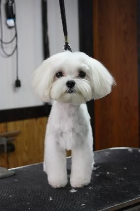 Love The Cute Grooming Job The Ears Look Like My Percy Maltese Dogs Dog Grooming Styles Dog Haircuts