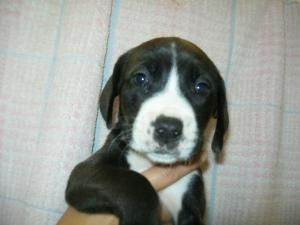 PUPPIES is an adoptable Bernese Mountain Dog Dog in Reed City, MI. JUST ARRIVED from the same household, two mothers who got pregnant from a traveling dog!  (bernese hound mix) Mom's will now be getti...