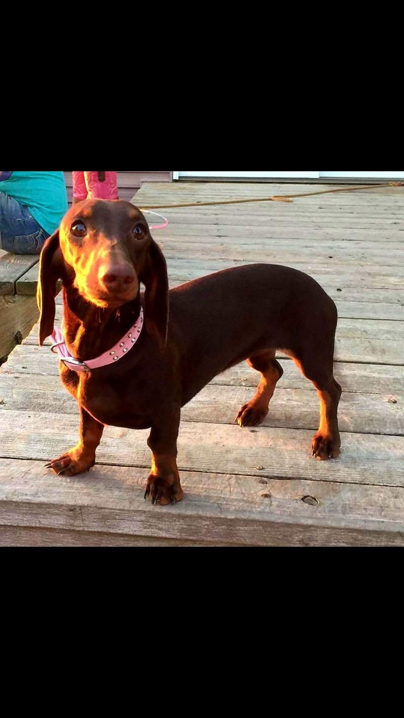 Adopt Penny on Dachshund dog, Pets, Animals
