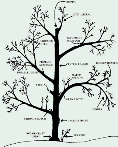 Prune a peach tree with a diagram pruning diagramg gardens prune a peach tree with a diagram pruning diagramg ccuart Image collections
