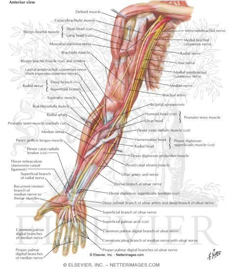 Kt Qu Hnh Nh Cho Upper Extremity Venous Anatomy Endovascular