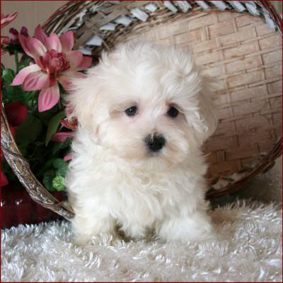 D 144 Maltichon Puppy Teacup Puppies Maltese Puppy Paws