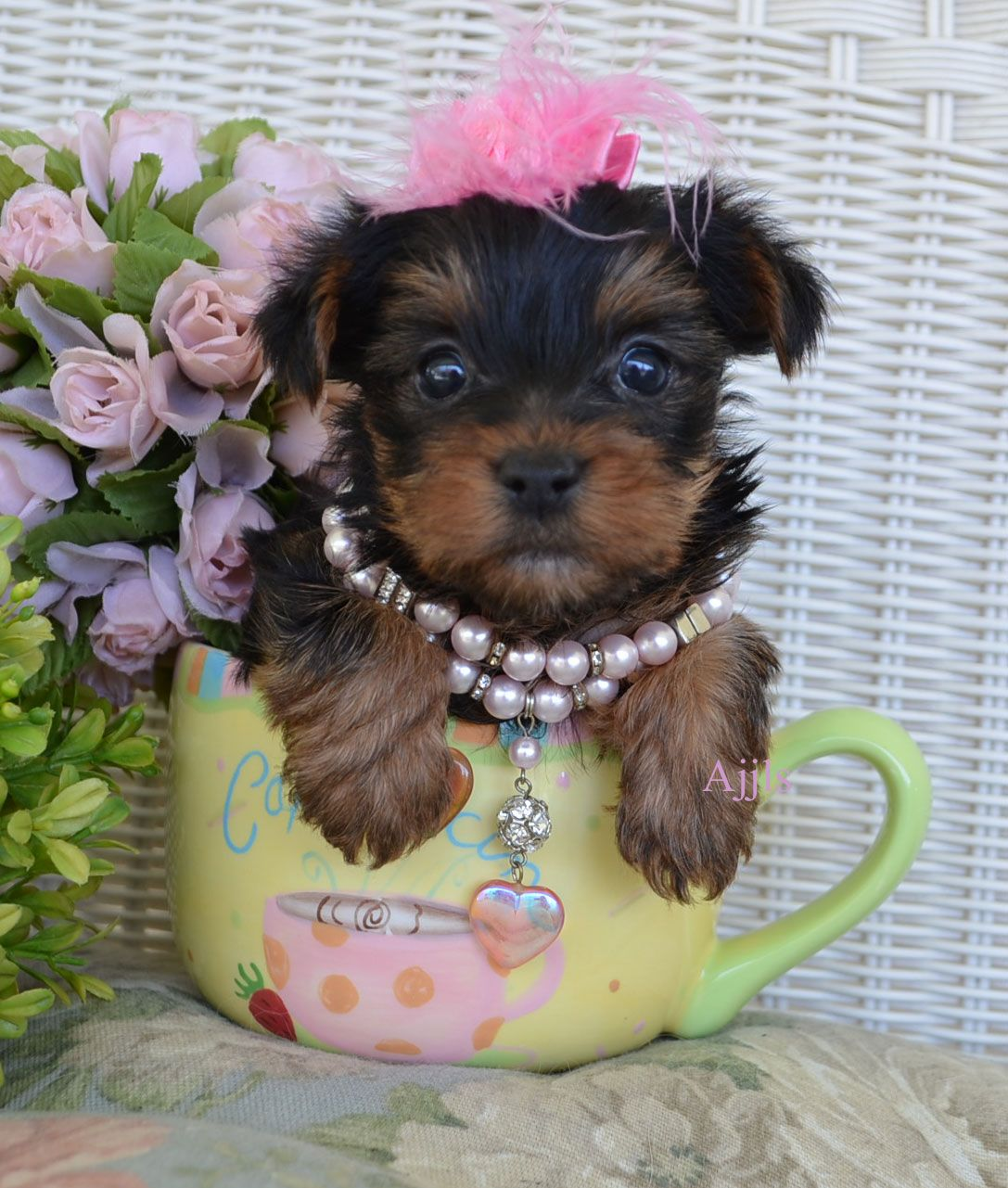 Teacup Yorkie Puppies For Sale puppies Pinterest