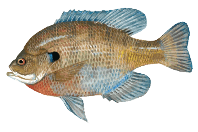 Great Clip Art of Freshwater Fish | Blue, Clip art and Art