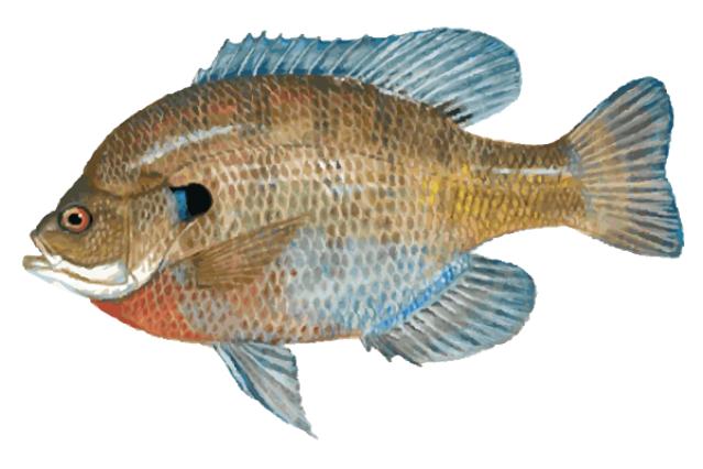 great clip art of freshwater fish blue gill freshwater fishing rh pinterest com Fishing Pole Clip Art Fishing Pole Clip Art